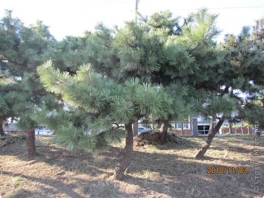 Надумали мы пойти в парк,который находится недалеко от Токийского залива. Там растет очень много сосен. В прошлом году мы там насобирали очень много шишек. Собрались на охоту и в этот раз. фото 8