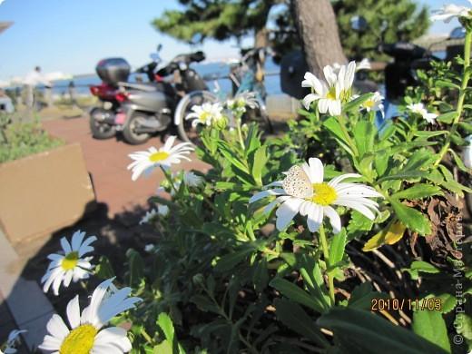Надумали мы пойти в парк,который находится недалеко от Токийского залива. Там растет очень много сосен. В прошлом году мы там насобирали очень много шишек. Собрались на охоту и в этот раз. фото 12