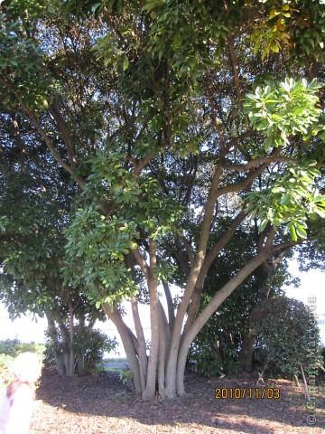 Надумали мы пойти в парк,который находится недалеко от Токийского залива. Там растет очень много сосен. В прошлом году мы там насобирали очень много шишек. Собрались на охоту и в этот раз. фото 21