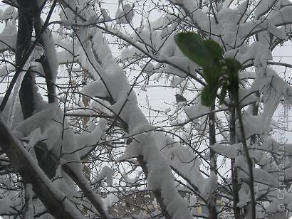 Вот такая картина предстала передо мной весенним утром 2010 года. К стеклу кухонного окна доверчиво прижался этот зеленый весенний побег и тихонько постукивал.... фото 3