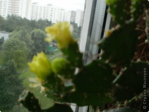 Никогда не думала,что эти кактусы цветут!!! Но он зацвел? фото 2