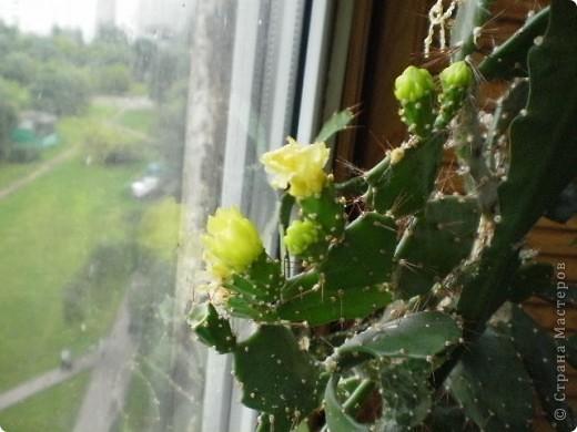 Никогда не думала,что эти кактусы цветут!!! Но он зацвел? фото 1