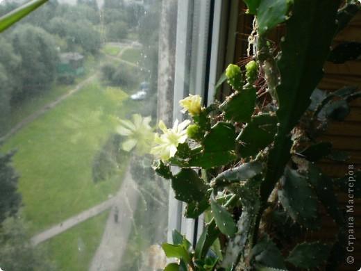 Никогда не думала,что эти кактусы цветут!!! Но он зацвел? фото 3