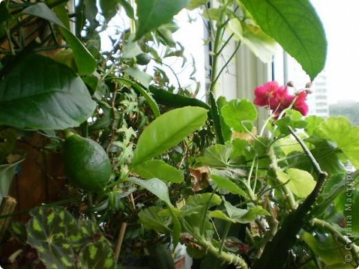 Никогда не думала,что эти кактусы цветут!!! Но он зацвел? фото 4