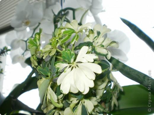 Никогда не думала,что эти кактусы цветут!!! Но он зацвел? фото 7