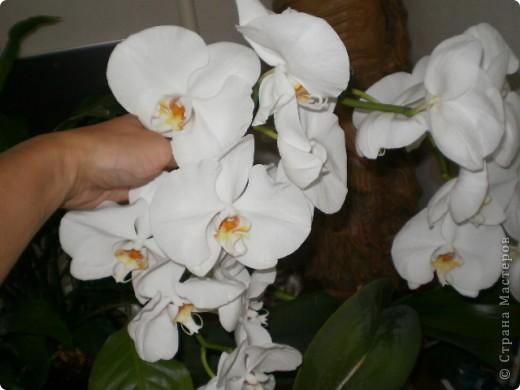 Никогда не думала,что эти кактусы цветут!!! Но он зацвел? фото 6