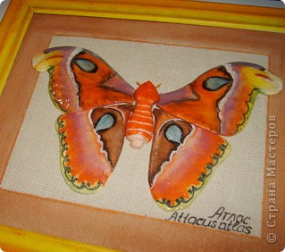 """тропическая бабочка """"Атлас""""размах крыльев достигает 24 см.Покорила меня своей красотой.Теперь будет в домашней коллекции,правда не моей. фото 2"""
