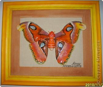 """тропическая бабочка """"Атлас""""размах крыльев достигает 24 см.Покорила меня своей красотой.Теперь будет в домашней коллекции,правда не моей. фото 1"""