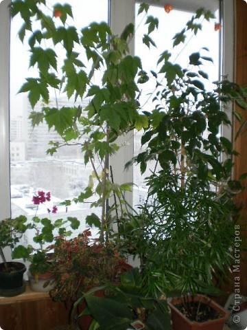 Никогда не думала,что эти кактусы цветут!!! Но он зацвел? фото 8