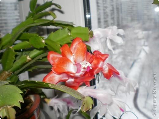 Никогда не думала,что эти кактусы цветут!!! Но он зацвел? фото 9