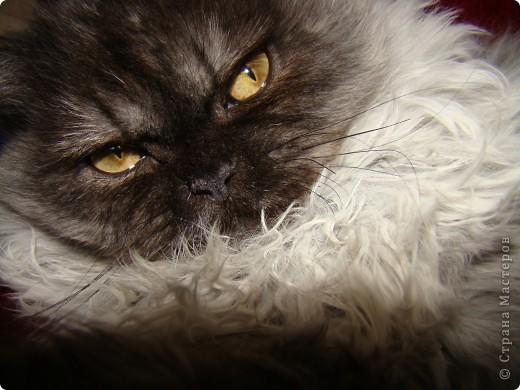 Кот Шатц фото 5