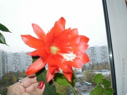 Никогда не думала,что эти кактусы цветут!!! Но он зацвел? фото 12