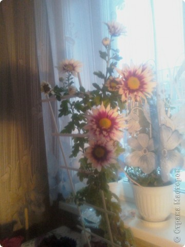 Вот такие хризантемы цветут у меня сейчас. фото 1