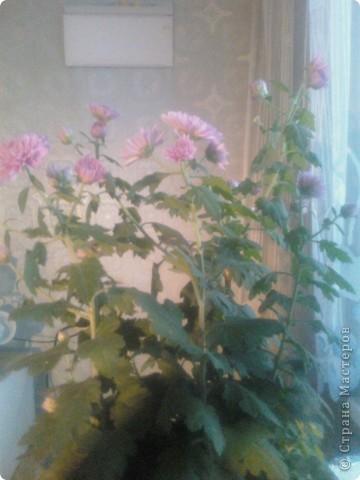 Вот такие хризантемы цветут у меня сейчас. фото 4