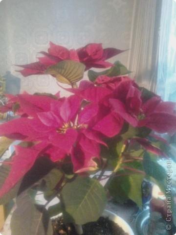 Вот такие хризантемы цветут у меня сейчас. фото 5