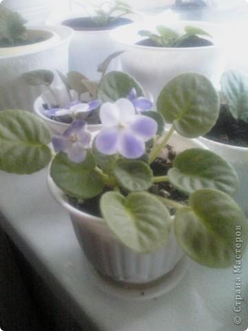 Вот такие хризантемы цветут у меня сейчас. фото 6