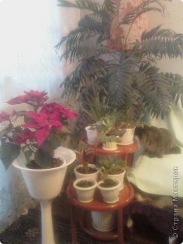 Вот такие хризантемы цветут у меня сейчас. фото 7