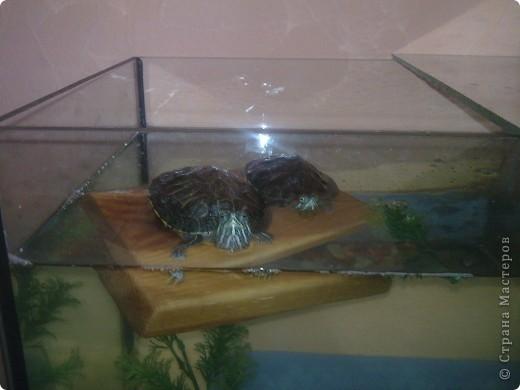 Водные черепахи, просушивают панцирь фото 1
