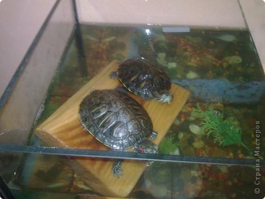 Водные черепахи, просушивают панцирь фото 3