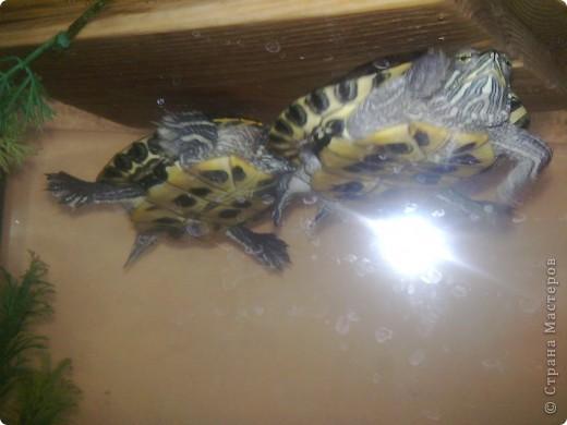 Водные черепахи, просушивают панцирь фото 2