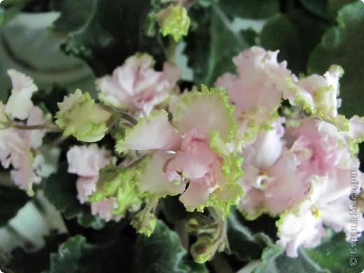 """Мое основное хобби - комнатные цветы. Люблю практически все виды комнатных растений, но главная моя """"цветочная болезнь"""" это сенполии.  фото 2"""