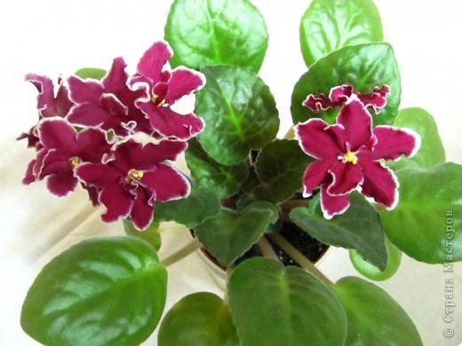 """Мое основное хобби - комнатные цветы. Люблю практически все виды комнатных растений, но главная моя """"цветочная болезнь"""" это сенполии.  фото 3"""