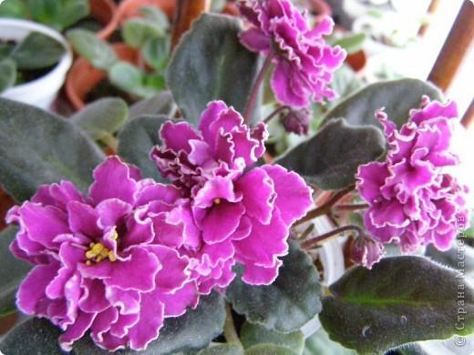 """Мое основное хобби - комнатные цветы. Люблю практически все виды комнатных растений, но главная моя """"цветочная болезнь"""" это сенполии.  фото 16"""