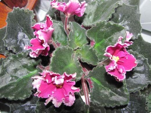 """Мое основное хобби - комнатные цветы. Люблю практически все виды комнатных растений, но главная моя """"цветочная болезнь"""" это сенполии.  фото 17"""