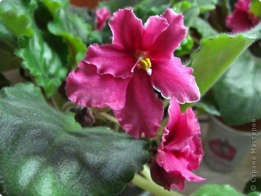 """Мое основное хобби - комнатные цветы. Люблю практически все виды комнатных растений, но главная моя """"цветочная болезнь"""" это сенполии.  фото 4"""