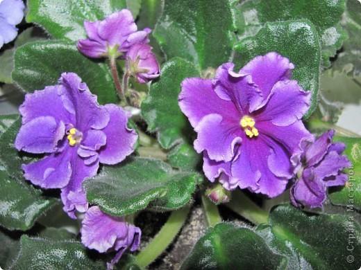 """Мое основное хобби - комнатные цветы. Люблю практически все виды комнатных растений, но главная моя """"цветочная болезнь"""" это сенполии.  фото 19"""