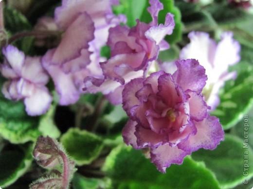 """Мое основное хобби - комнатные цветы. Люблю практически все виды комнатных растений, но главная моя """"цветочная болезнь"""" это сенполии.  фото 5"""