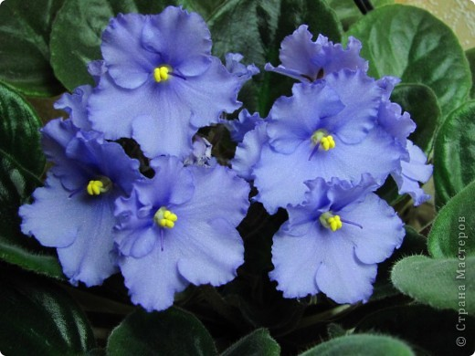 """Мое основное хобби - комнатные цветы. Люблю практически все виды комнатных растений, но главная моя """"цветочная болезнь"""" это сенполии.  фото 18"""