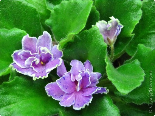 """Мое основное хобби - комнатные цветы. Люблю практически все виды комнатных растений, но главная моя """"цветочная болезнь"""" это сенполии.  фото 6"""