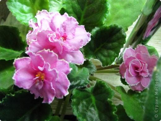 """Мое основное хобби - комнатные цветы. Люблю практически все виды комнатных растений, но главная моя """"цветочная болезнь"""" это сенполии.  фото 20"""
