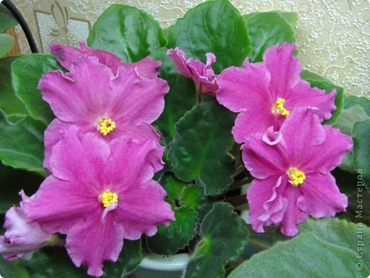 """Мое основное хобби - комнатные цветы. Люблю практически все виды комнатных растений, но главная моя """"цветочная болезнь"""" это сенполии.  фото 23"""