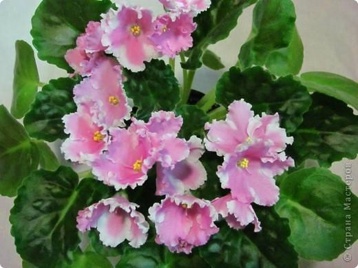 """Мое основное хобби - комнатные цветы. Люблю практически все виды комнатных растений, но главная моя """"цветочная болезнь"""" это сенполии.  фото 21"""