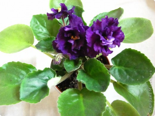 """Мое основное хобби - комнатные цветы. Люблю практически все виды комнатных растений, но главная моя """"цветочная болезнь"""" это сенполии.  фото 7"""