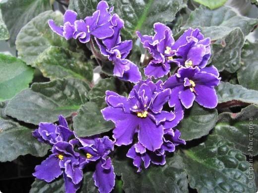 """Мое основное хобби - комнатные цветы. Люблю практически все виды комнатных растений, но главная моя """"цветочная болезнь"""" это сенполии.  фото 8"""