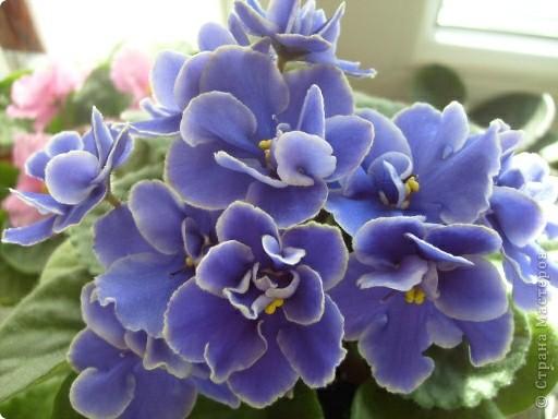 """Мое основное хобби - комнатные цветы. Люблю практически все виды комнатных растений, но главная моя """"цветочная болезнь"""" это сенполии.  фото 22"""