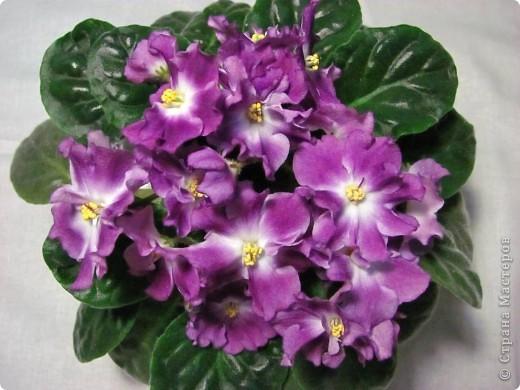 """Мое основное хобби - комнатные цветы. Люблю практически все виды комнатных растений, но главная моя """"цветочная болезнь"""" это сенполии.  фото 9"""