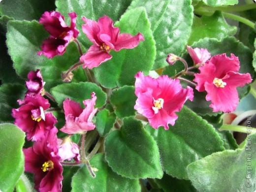 """Мое основное хобби - комнатные цветы. Люблю практически все виды комнатных растений, но главная моя """"цветочная болезнь"""" это сенполии.  фото 10"""
