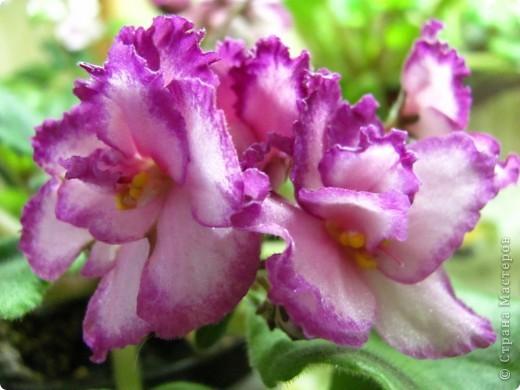 """Мое основное хобби - комнатные цветы. Люблю практически все виды комнатных растений, но главная моя """"цветочная болезнь"""" это сенполии.  фото 11"""