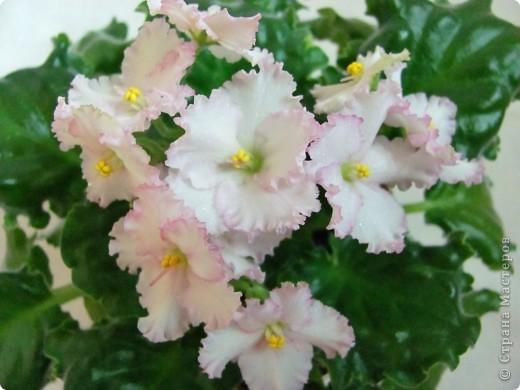 """Мое основное хобби - комнатные цветы. Люблю практически все виды комнатных растений, но главная моя """"цветочная болезнь"""" это сенполии.  фото 12"""