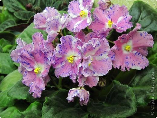 """Мое основное хобби - комнатные цветы. Люблю практически все виды комнатных растений, но главная моя """"цветочная болезнь"""" это сенполии.  фото 13"""