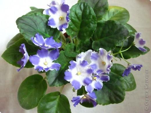 """Мое основное хобби - комнатные цветы. Люблю практически все виды комнатных растений, но главная моя """"цветочная болезнь"""" это сенполии.  фото 14"""