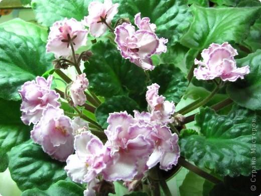 """Мое основное хобби - комнатные цветы. Люблю практически все виды комнатных растений, но главная моя """"цветочная болезнь"""" это сенполии.  фото 15"""