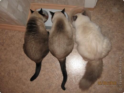 Очень люблю кошек, особенно сиамских. Имею трех. Самой старшей Симе-15 лет,ее дочке Соньке-7, а найденышу Касе- Касандре- 1год. Год назад в самый мороз дочь принесла домой, найденное в снегу чудище, блохастое, со сломанным бедром и очень грязное. Но теперь -это чудище завоевало любовь всей семьи! Наша Кася!!!! фото 2