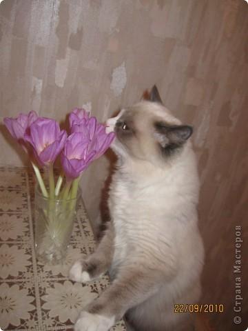 Очень люблю кошек, особенно сиамских. Имею трех. Самой старшей Симе-15 лет,ее дочке Соньке-7, а найденышу Касе- Касандре- 1год. Год назад в самый мороз дочь принесла домой, найденное в снегу чудище, блохастое, со сломанным бедром и очень грязное. Но теперь -это чудище завоевало любовь всей семьи! Наша Кася!!!! фото 3