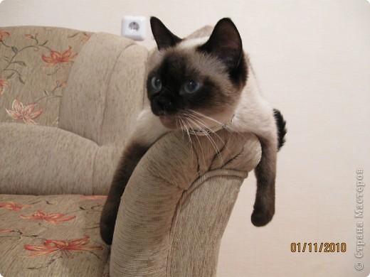 Очень люблю кошек, особенно сиамских. Имею трех. Самой старшей Симе-15 лет,ее дочке Соньке-7, а найденышу Касе- Касандре- 1год. Год назад в самый мороз дочь принесла домой, найденное в снегу чудище, блохастое, со сломанным бедром и очень грязное. Но теперь -это чудище завоевало любовь всей семьи! Наша Кася!!!! фото 5