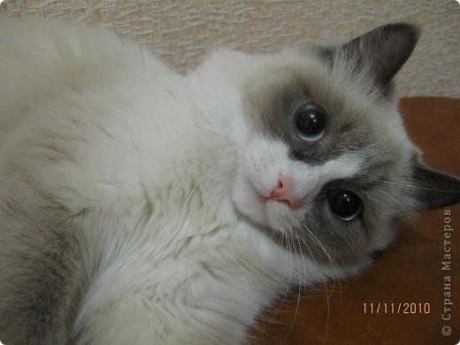 Очень люблю кошек, особенно сиамских. Имею трех. Самой старшей Симе-15 лет,ее дочке Соньке-7, а найденышу Касе- Касандре- 1год. Год назад в самый мороз дочь принесла домой, найденное в снегу чудище, блохастое, со сломанным бедром и очень грязное. Но теперь -это чудище завоевало любовь всей семьи! Наша Кася!!!! фото 1